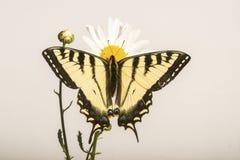 Farfalla di Papilio - su Daisy Flower fotografia stock
