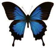 Farfalla di Papilio Ulysses Fotografie Stock