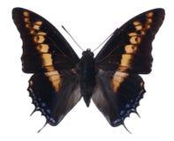 Farfalla di Pasha Fotografia Stock