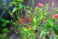 Farfalla di passione con le ali chiuse fotografia stock