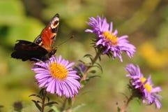 Farfalla di pavone immagini stock