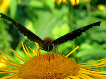 Farfalla di pavone Fotografie Stock Libere da Diritti