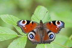 Farfalla di pavone Immagine Stock