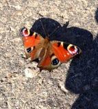 Farfalla di pavone (aglais io) Immagine Stock