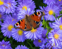Farfalla di pavone - Aglais io Immagini Stock