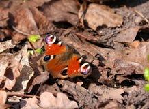 Farfalla di pavone - Aglais io Fotografia Stock Libera da Diritti