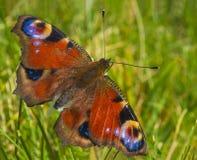 Farfalla di pavone alta vicina di macro sul fondo molle dell'erba verde Immagini Stock