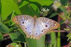 Farfalla di pavone bianca - jatrophae di Anartia immagini stock libere da diritti