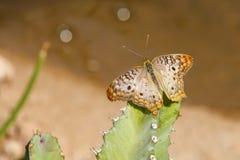 Farfalla di pavone bianca sopra il cactus Fotografia Stock
