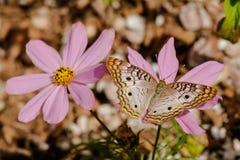 Farfalla di pavone bianca sul fiore rosa Immagini Stock Libere da Diritti