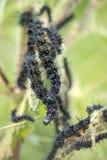 Farfalla di pavone Caterpillar Immagini Stock