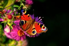 Farfalla di pavone che riposa su un fiore fotografia stock