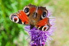 Farfalla di pavone che si siede su una lavanda Fotografia Stock