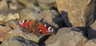 Farfalla di pavone che si siede sulle rocce Immagine Stock Libera da Diritti