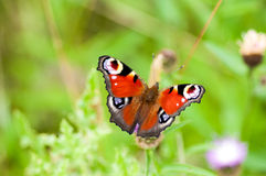 Farfalla di pavone del ritratto dell'insetto Fotografia Stock Libera da Diritti
