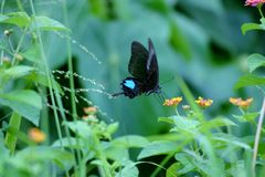 Farfalla di pavone di Parigi Immagini Stock Libere da Diritti