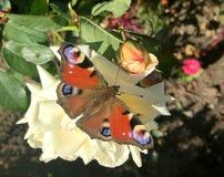 Farfalla di pavone europea Fotografie Stock Libere da Diritti