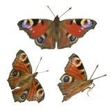 Farfalla di pavone europea Fotografie Stock