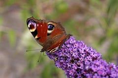 Farfalla di pavone europea, Nymphalis io Immagine Stock