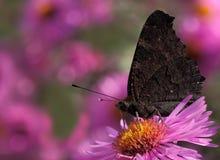 Farfalla di pavone europea Immagine Stock