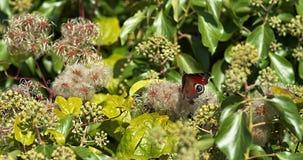 Farfalla di pavone, inachis io, adulto in volo, decollante, Normandia in Francia, video d archivio