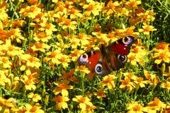 Farfalla di pavone su massa dei fiori gialli Fotografie Stock