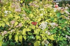 Farfalla di pavone su un fiore che si rilassa al sole Fotografie Stock
