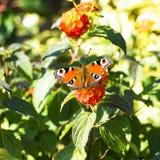 Farfalla di pavone sulla lantana arancio Fotografie Stock Libere da Diritti