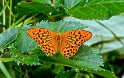 Farfalla di Perlamutrovka. Fotografia Stock
