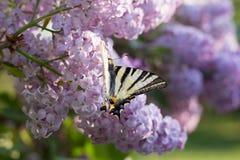 Farfalla di Podalirio Iphiclides Podalirius sui fiori della siringa Immagine Stock