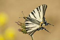Farfalla di Podaliry Fotografia Stock