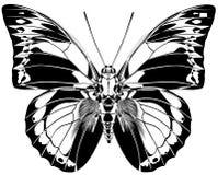 Farfalla di Praenestina Immagine Stock Libera da Diritti
