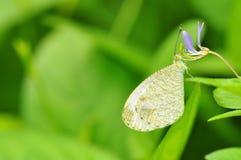 Farfalla di psiche Immagini Stock