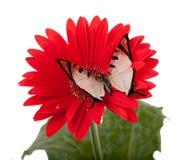 Farfalla di quattro Antivari Immagine Stock Libera da Diritti