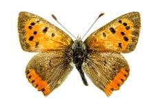 Farfalla di rame comune Immagini Stock Libere da Diritti