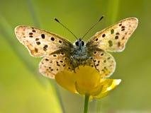 Farfalla di rame fuligginosa di Lit posteriore Immagine Stock