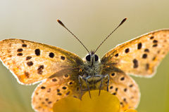 Farfalla di rame fuligginosa di Lit posteriore Immagini Stock