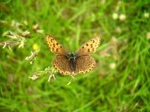 Farfalla di rame orlata porpora immagine stock