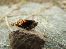Farfalla di recente covata Fotografie Stock Libere da Diritti