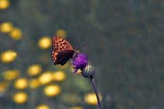 Farfalla di Renbo fotografie stock