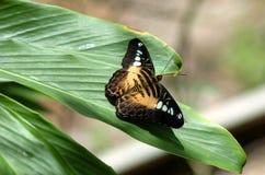 Farfalla di riposo 1 Fotografia Stock