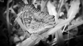 Farfalla di riposo Immagini Stock