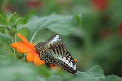 Farfalla di riposo Immagine Stock Libera da Diritti
