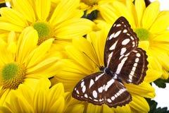 Farfalla di Sargeant del personale Immagini Stock