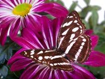 Farfalla di Sargeant del personale Fotografia Stock Libera da Diritti