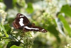 Farfalla di Sargent del personale sui fiori Immagine Stock
