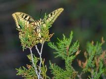 Farfalla di sera su un ramo di una conifera Fotografia Stock