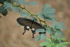 Farfalla di Shallowtail Immagine Stock