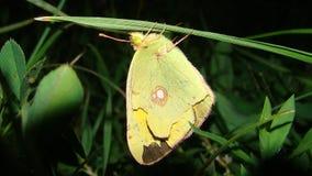 Farfalla di sonno | Notte immagini stock