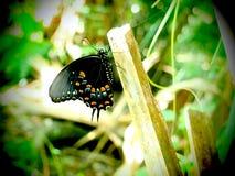 Farfalla di Spicebush Shallowtail in Florida immagine stock libera da diritti